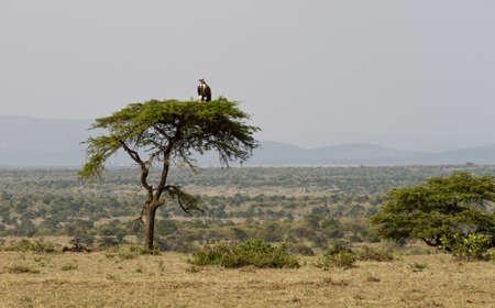 Vulture on an umbrella acacia tree, Masai Mara Game Reserve, Kenya, Africa photo