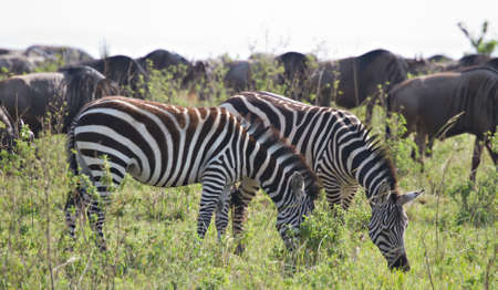 Herds of Zebras and Wildebeests in the Masai Mara, Kenya, Africa Stock Photo - 10769087