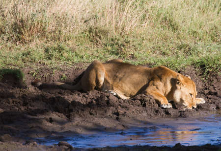 waterhole: Drinking Lion at a waterhole, Serengeti, Tanzania