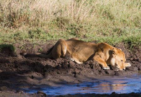 pozo de agua: León bebiendo en una charca, Serengeti, Tanzania