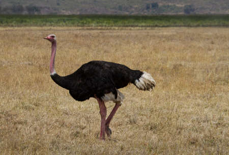 Male Ostrich in the Ngorongoro crater, Tanzania, Africa