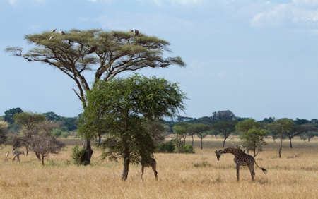 Vultures and Giraffes in the Serengeti National Park, Tanzania, Africa photo