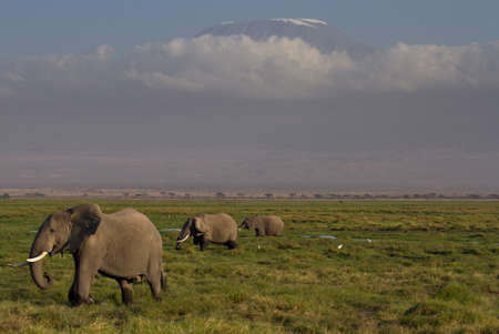 Elephants in front of the Kilimanjaro, Amboseli National Park, Kenya