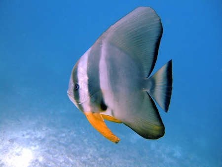 platax: Tiera batfish, Athuruga, Ari Atoll, Maldives Stock Photo