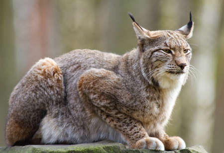 Close up of an Eurasian lynx - Lynx lynx Stok Fotoğraf