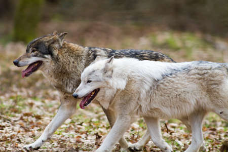 Two eastern wolves running through the forest