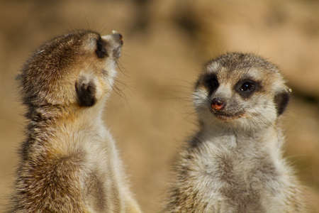 Two meerkats - Suricata suricatta - standing on rear legs, South Africa