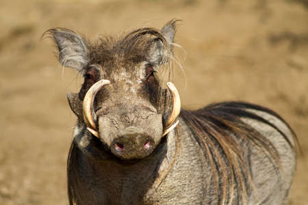 Portrait of a male warthog, Tanzania, Africa Stock Photo