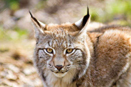 lince: Cerca de un lince euroasiático - Lynx lynx Foto de archivo