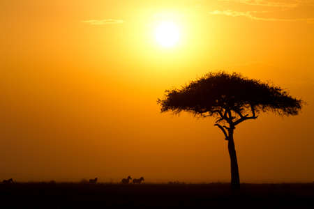 Dusk in the Masai Maria National Reserve with Acacia tree and silhouttes of Zebras, Keya, Africa Stok Fotoğraf