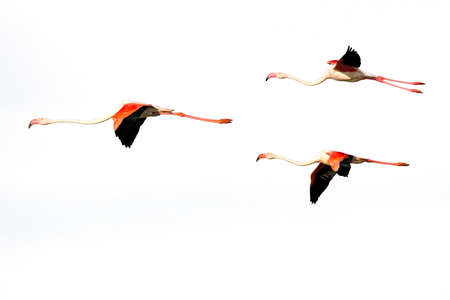 Three flying Flamingos isolated on a white background, Provence