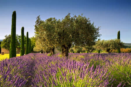 Lavender and Olive Trees, Provence, France Stock Photo