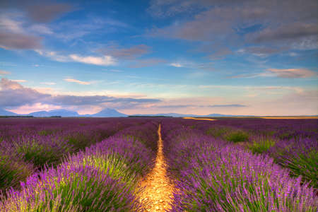 Endless Lavender fields on the Valensole plateau, Provence, France photo