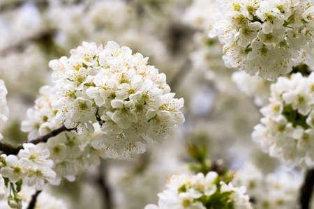hessen: Macro of apple tree blossoms, Germany, Hessen Stock Photo