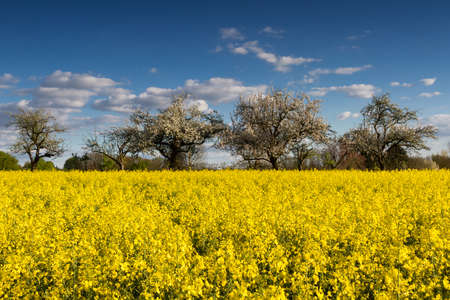 hessen: Blooming canola fields and apple trees in spring, Hessen, Germany Stock Photo