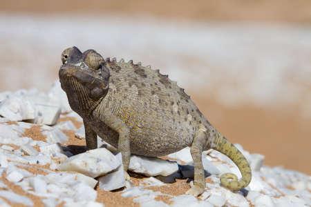 africa chameleon: Close up of a desert chameleon, Namib desert, Africa