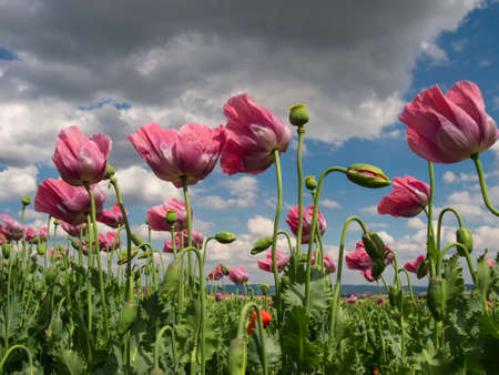 Close up of pink opium poppies in full blossom