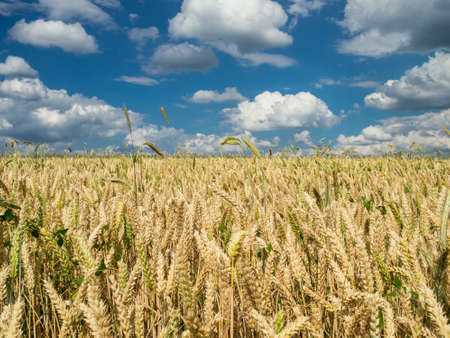 partly: Wheat field under a partly cloudy sky in the summer