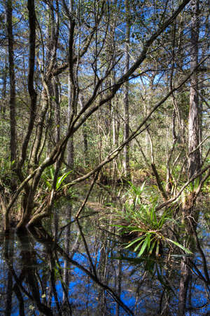 Everglades Landscape reflecting in a swamp, Florida photo