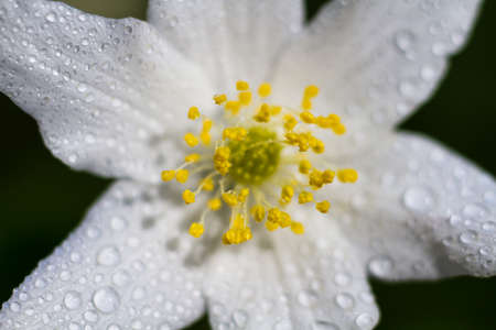 windflower: Macro of a white wood anemone in spring