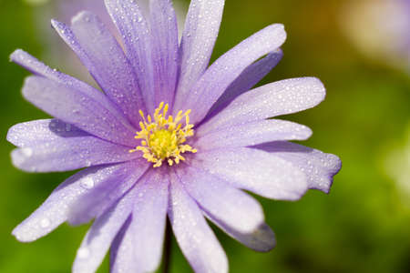 windflower: Macro of a violet wood anemone in spring Stock Photo