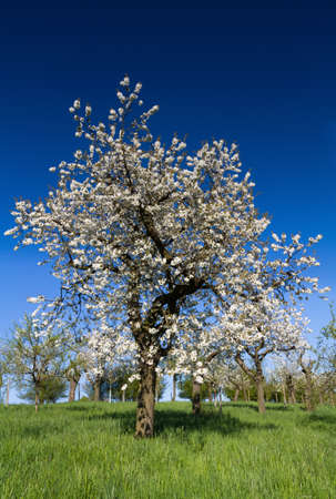 hessen: Old apple tree in full blossom, Bad Vilbel, Hessen, Germany