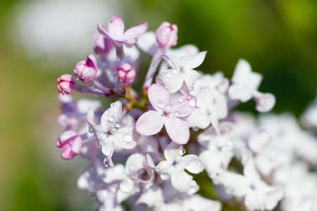 broadleaf: Macro of a broadleaf lilac in springtime