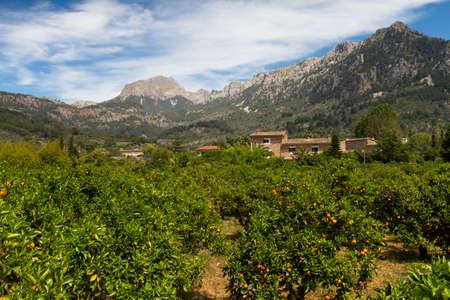 Oranje boomgaard in de buurt van Soller Mallorca Baleares Spanje