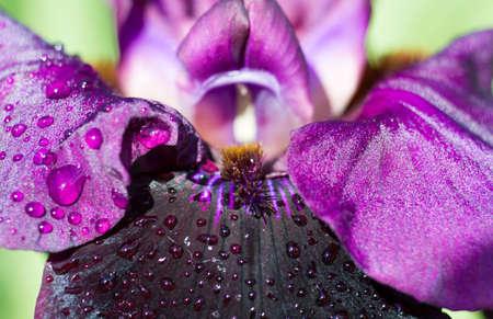 sable: Macro of black iris cultivar Sable Night