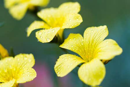 linum: Macro of a Linum campanulatum  Yellow flax