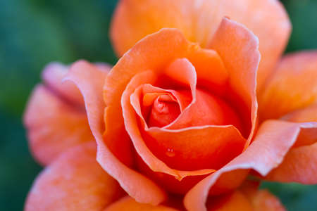 orange rose: Macro of an orange rose cultivar Annick