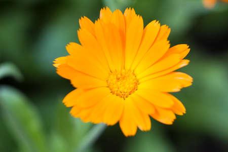 pot marigold: Macro of an orange pot marigold