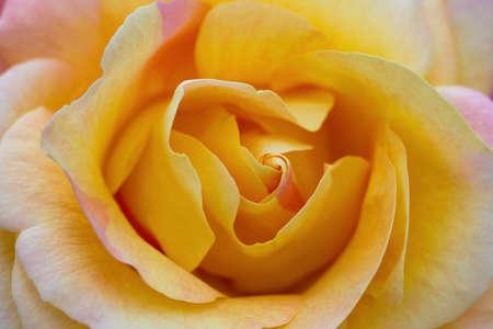 britannia: Macro of a yellow rose cultivar Britannia