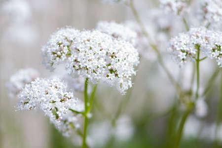 Macro of a white common valerian Stock Photo