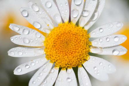 austrian: Macro of a white Austrian chamomile
