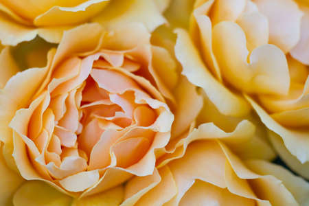 easy going: Macro of a light yellow rose cultivar Easy Going