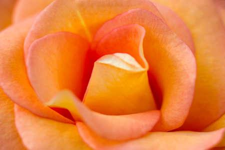 chorus: Macro of an orange rose cultivar Dawn Chorus