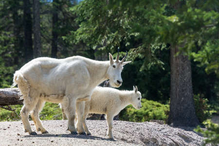 mountain goats: Two mountain goats at Jasper National Park, Icefields Parkway, Alberta, Canada