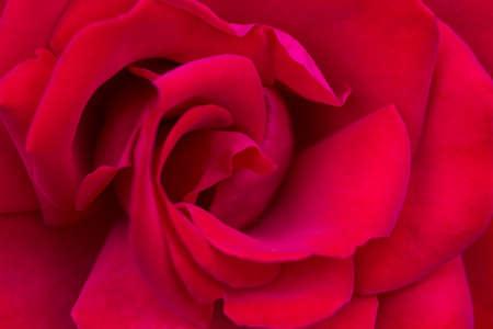 invincible: Macro of a red rose cultivar Invincible Stock Photo