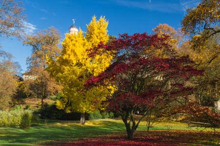 gingko: Colourful gingko and maple tree in autumn, Bad Homburg, Germany Stock Photo