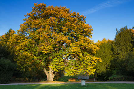 basswood: Old lime tree in autumn at Grueneburgpark, Frankfurt, Germany