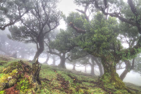 dosh: Ancient laurisilva trees in the fog, Madeira, Portugal