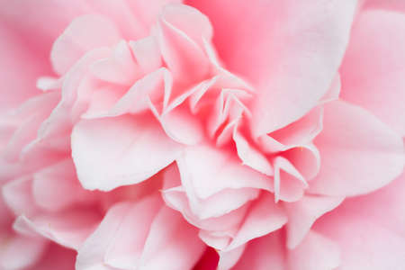 camellia japonica: Macro of a white camellia japonica - cultivar Debuttante