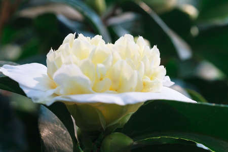 camellia japonica: Macro of a white camellia japonica - Rose of winter