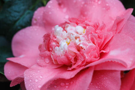 camellia japonica: Macro of a rose camellia japonica - Rose of Winter
