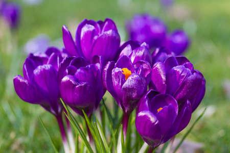 florescence: Macro of purple crocus in spring, Germany