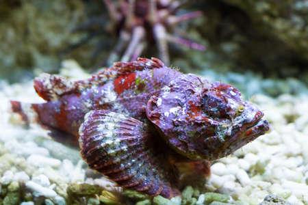 falso: Macro de un pez piedra falsa, Océano Índico Foto de archivo