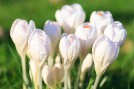 florescence: Macro of white crocus in spring, Germany