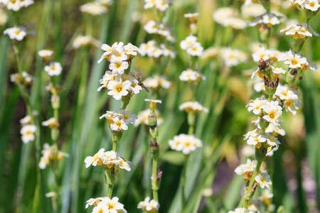 cranesbill: Macro of a cranesbill - Geranium sessiliflorum