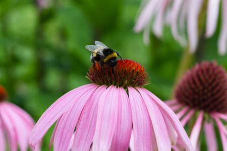 purpurea: Bee on a purple coneflower - Echinacea purpurea Stock Photo